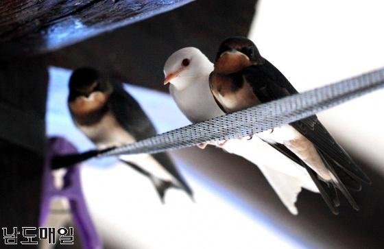 지난 27일 오전 강진군 도암면 학동마을 한 농가에서 온몸이 하얀 제비 새끼가 카메라에 잡혔다.